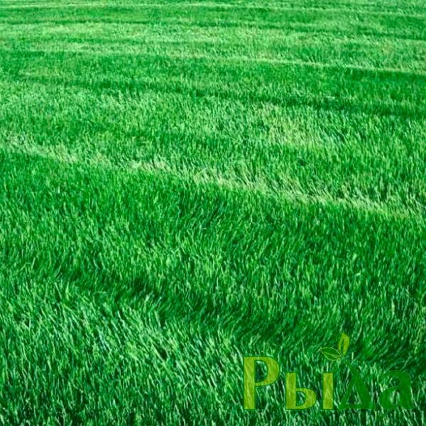 Райграс семена