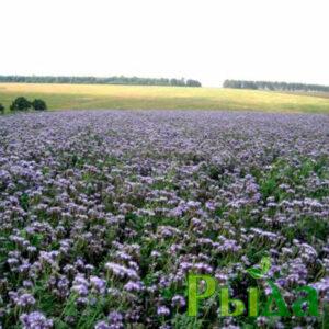 semena-facelii-medonos-i-siderat-faceliya