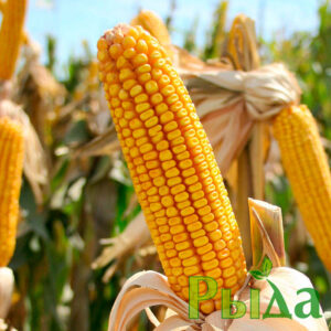 Кукуруза Подольский 274 фото