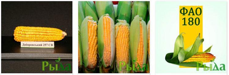 Семена кукурузы (фото)
