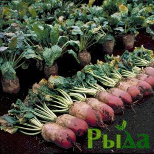 semena-svekly-kormovoj-rekord