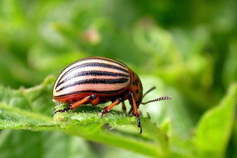 Средства защиты растений. Фото колорадского жука
