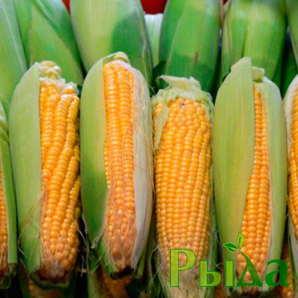 gibrid-kukuruzy-dn-akvozor