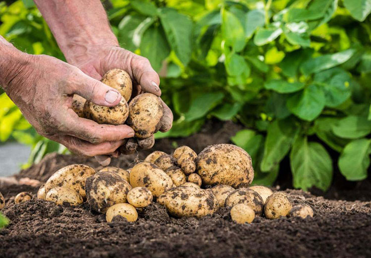 Регулятор роста Фазор. Фото картофеля