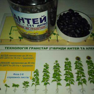 Семена подсолнечника Антей (фото 2)