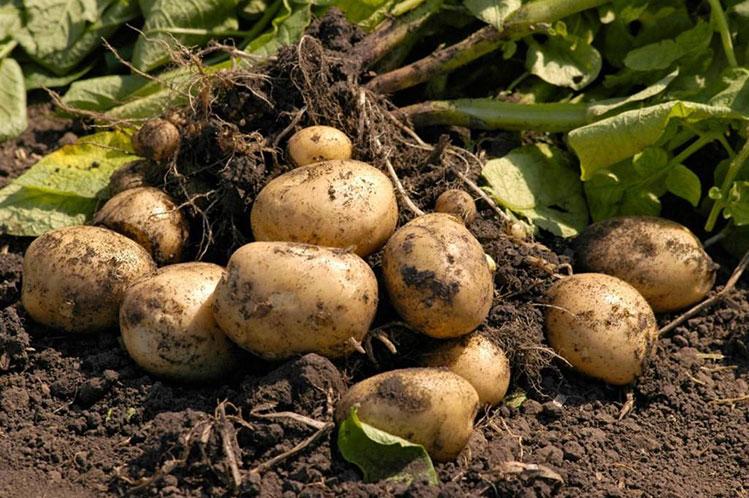 Протравитель Еместо Квантум (фото картофеоя)