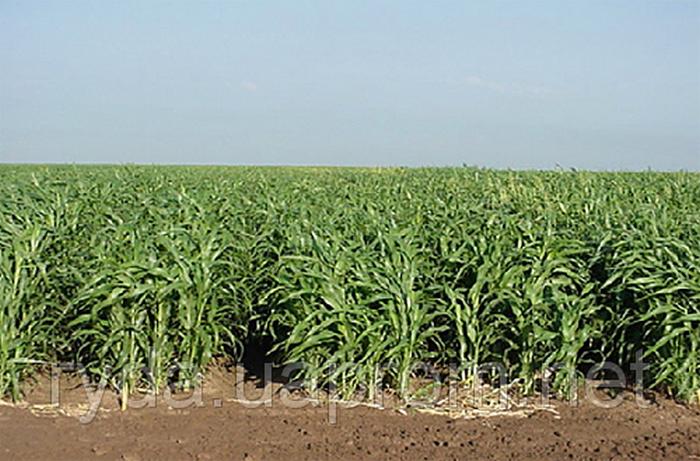 Суданка семена