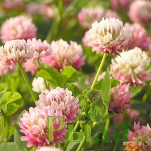 Клевер розовый семена