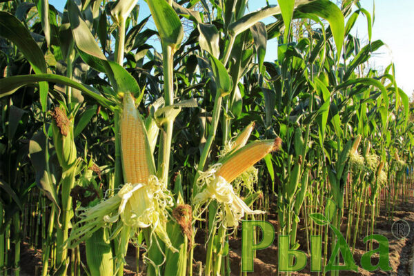 Аджамка кукуруза