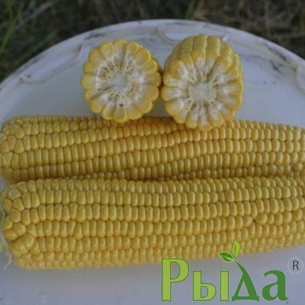Кукуруза Галатея
