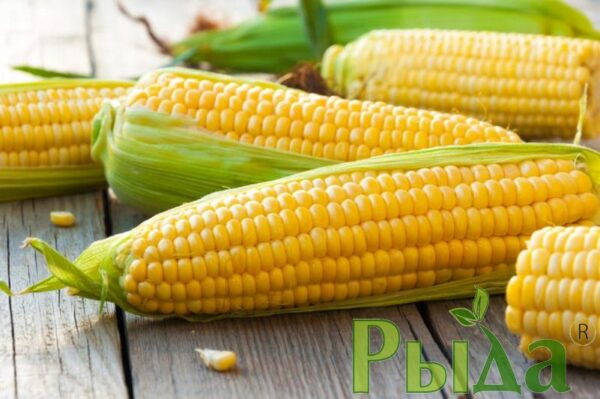 Зоряна кукуруза