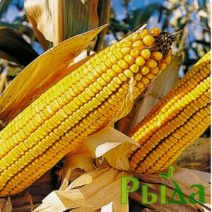 Семена кукурузы Синевир