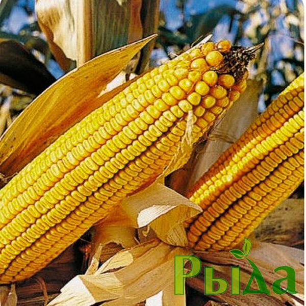 Синевир кукуруза