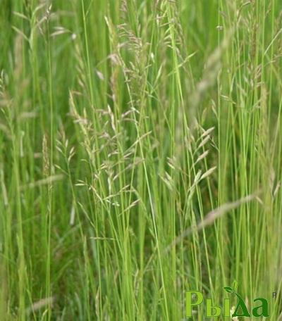Семена Овсяницы