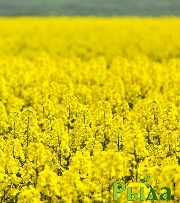 Семена озимого рапса Халк (Внис)