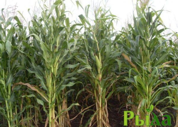 Семена кукурузы Элмор