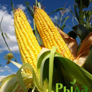 Семена кукурузы Солонянский (ФАО 290)