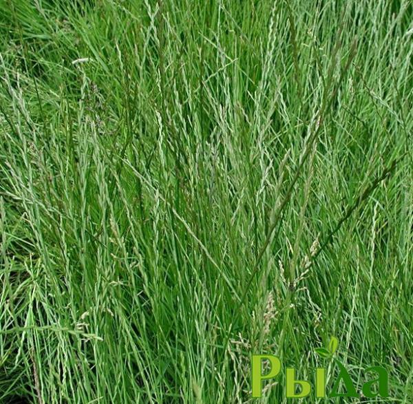Семена райграса (многоукосный)