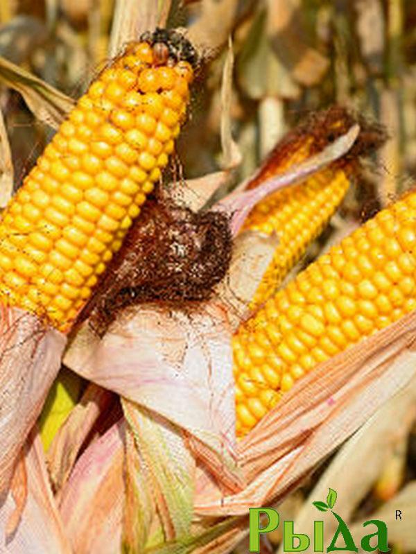 Насіння кукурудзи Гран 220 (2021р)