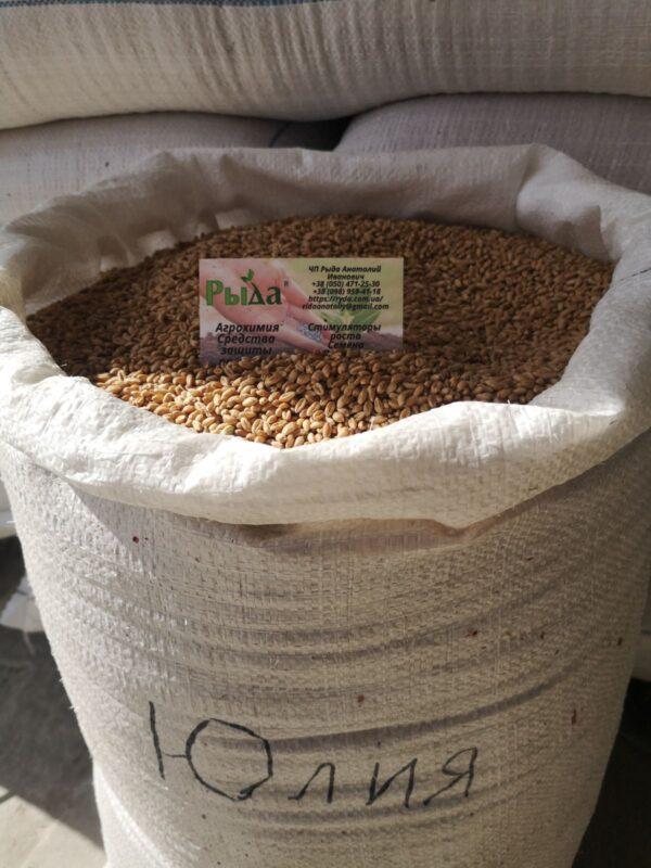 Насіння озимої пшениці Юлія